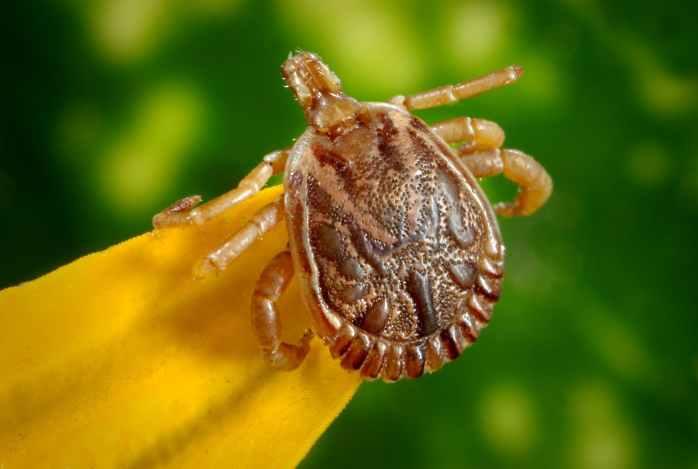 cayenne-tick-tick-male-dorsal-view-45850.jpeg